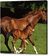 Thoroughbred Chestnut Mare & Foal Canvas Print