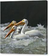 Three American Pelicans Canvas Print