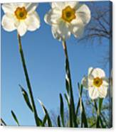 Three Backlit Jonquils From Below Canvas Print
