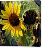 Three Beautiful Sunflower Canvas Print
