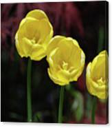 Three Blooming Yellow Tulips Of Different Heights Canvas Print