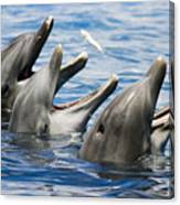 Three Bottlenose Dolphins Canvas Print