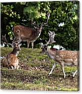 Three Bucks Canvas Print