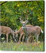 Three Bucks_0054_4463 Canvas Print
