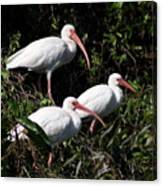Three Buddies - White Ibis Canvas Print