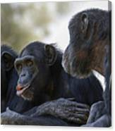Three Chimpanzees Socializing  Canvas Print
