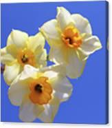 Three Daffodils Canvas Print