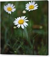 Three Daisy's Canvas Print
