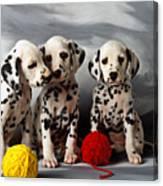 Three Dalmatian Puppies  Canvas Print