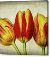 Three Dew Covered Tulips Canvas Print
