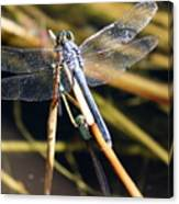 Three Dragonflies On One Reed Canvas Print