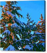 Three Evergreens Canvas Print