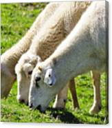 Three Ewes Canvas Print