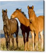 Three Foals Canvas Print