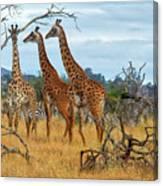 Three Giraffes Canvas Print