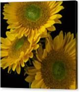 Three Golden Sunflowers Canvas Print