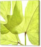 Three Green Leaves Canvas Print