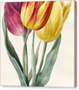 Three Lily Tulips  Canvas Print