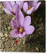 Three Lovely Saffron Crocus Blossoms Canvas Print