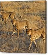 Three Cheetahs Canvas Print