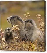 Three Marmots 2 Canvas Print