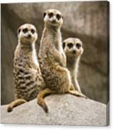 Three Meerkats Canvas Print