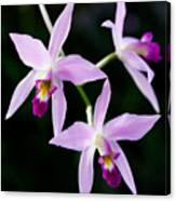 Three Orchids Canvas Print