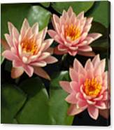 Three Pink Water Lilies Canvas Print