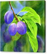 Three Purple Plums With Background Canvas Print