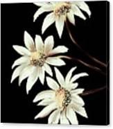 Three Spring Daisies Canvas Print