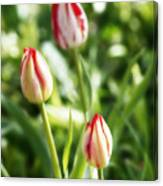 Three Striped Tulips Canvas Print