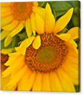 Three Sunflowers Canvas Print
