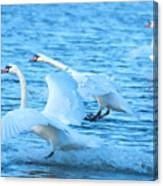 Three Swans Canvas Print
