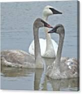 Three Swans Swimming Canvas Print