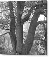 Three Trunk Tree, Whitley Mill Canvas Print