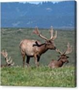 Three Tule Elk Bulls In Meadow Canvas Print
