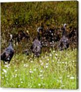 Three Turkeys Canvas Print