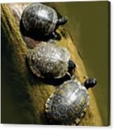 Three Turtles On A Log Canvas Print