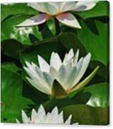 Three Water Lilies Canvas Print