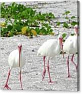 Three White Ibis Walking On The Beach Canvas Print