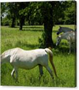 Three White Lipizzan Horses Grazing In A Field At The Lipica Stu Canvas Print