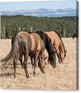 Three Wild Mustangs Canvas Print