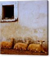 Three Wise Sheep Canvas Print