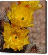 Three Yellow Cactus Flowers Canvas Print