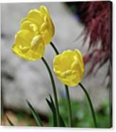 Three Yellow Garden Tulips Flowering In Spring Canvas Print