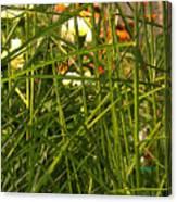 Through The Grass Curtain Canvas Print