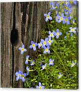 Thyme-leaved Bluets - D008426 Canvas Print