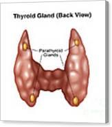 Thyroid Gland Back, Illustration Canvas Print