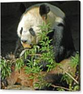 Tian Tian Hanging Out In Panda Man Cave Canvas Print