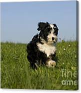 Tibetan Terrier Puppy Canvas Print
